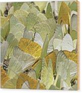 Pierid Butterfly Pieridae Puddling Wood Print