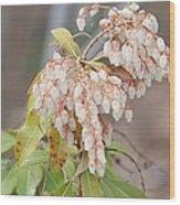 Pieris Japonica 'dorothy Wycoff' Andromeda  Wood Print