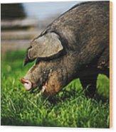 Pig Eating Wood Print