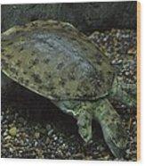 Pig-nosed Turtle Wood Print