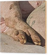 Piglets Napping 1 Wood Print by Odd Jeppesen