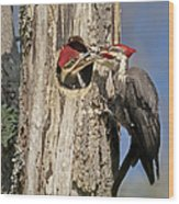 Pileated Woodpecker And Chick Wood Print