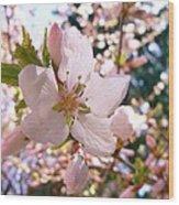 Pin Cherry Blooms Wood Print