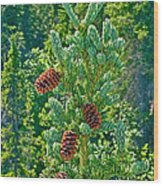 Pine Cones On Spruce Tree In Rancheria Falls Recreation Site-yt Wood Print