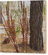 Pine Drops And Ponderosa Pine In Des Chutes Nf-or  Wood Print