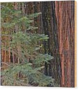 Pine In The Redwoods Wood Print