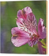 Pink Alstroemeria Flower Wood Print