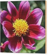 Pink And Red Dahlia Wood Print