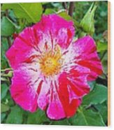 Pink And Red Striped Rose Wood Print