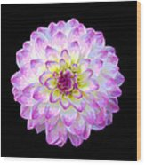 Pink And White Dahlia Posterized On Black Wood Print
