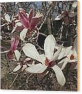 Pink And White Spring Magnolia Wood Print