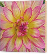 Pink And Yellow Dahlia Wood Print