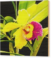Pink And Yellow Orchid Flower  Wood Print
