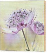Pink Astrantia Wood Print