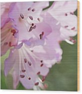 Pink Azalea Flowers In The Morning Light Wood Print