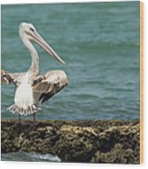 Pink-backed Pelican Looking Over Shoulder Wood Print