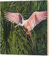 Pink Bird Flying - Spoonbill Coming In For A Landing Wood Print
