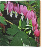 Pink Bleeding Hearts Wood Print