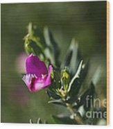 Pink Blush - Sweet Pea Bush  Wood Print