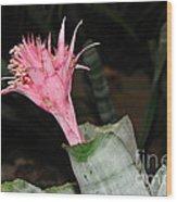Pink Bromeliad Bloom Wood Print by Kaye Menner