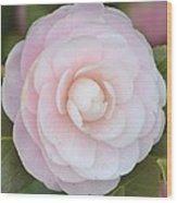 Pink Camelia Flower Wood Print