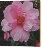 Pink Camelia With Droplets Wood Print
