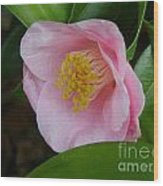 Pink Camellia About To Bloom Wood Print