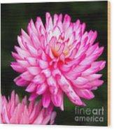 Pink Chrysanths Wood Print