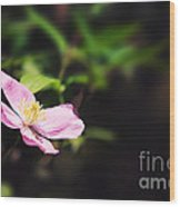 Pink Clematis In Sunlight Wood Print