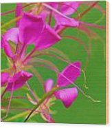 Pink Cleome Or Spider Flower  Wood Print by RM Vera
