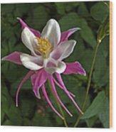 Pink Columbine Flower Wood Print