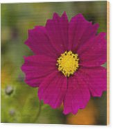 Pink Cosmos 3 Wood Print by Roger Snyder