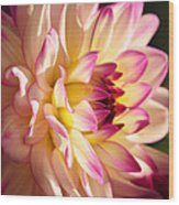 Pink Cream And Yellow Dahlia Wood Print
