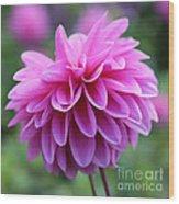 Pink Dahlia Closeup Wood Print