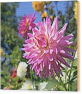 Pink Dahlia Flower Closeup Wood Print