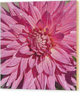 Pink Dahlia II Wood Print by Peter French