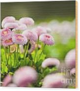 Bellis Perennis Pomponette Called Daisy Blooming  Wood Print