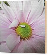Pink Daisy Freshness With Water Droplets Wood Print