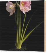 Pink Diamond Amaryllis Wood Print by Claudio Bacinello