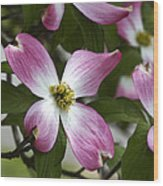 Pink Dogwood Blossom Up Close Wood Print