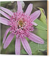 Pink Double Delight Echinacea Wood Print