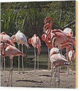 Pink Falmingos At The San Diego Zoo Wood Print