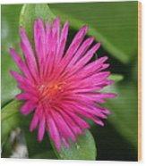 Pink Flower Of Succulent Carpet Weed  Wood Print