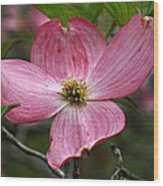 Pink Flowering Dogwood Wood Print