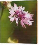 Pink Frillies Wood Print