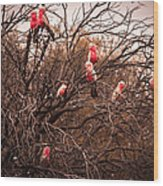 Pink Galahs Wood Print