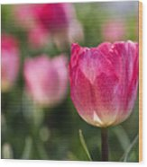 Pink Glowing Tulip Wood Print