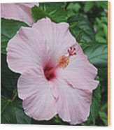 Pink Hibiscus #3 Wood Print