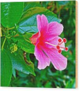 Pink Hibiscus Near Celadon Factory In Chiang Mai-thailand Wood Print