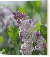 Pink Lilacs And Green Leaves - Featured 3 Wood Print